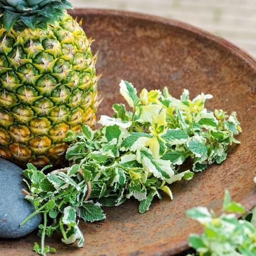 Kräuterpflanze Ananas-Minze, im ca. 12 cm-Topf