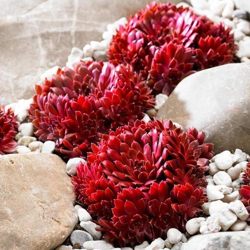 Korallenroter Hauswurz, im ca. 9 cm-Topf