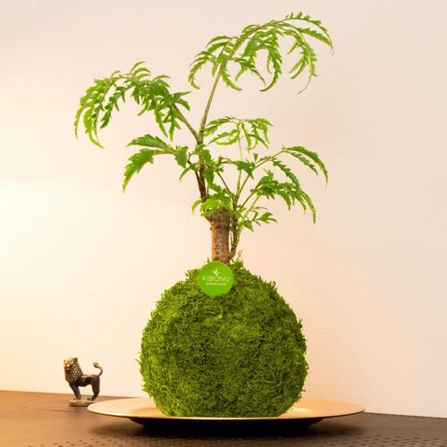 Kibonu COSIMO, Mooskugel Durchmesser 10-11 cm
