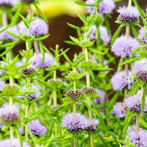 Englische Wasserminze, violett, im ca. 9 cm-Topf