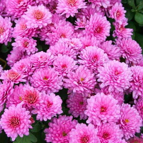 Winteraster, rosa, im ca. 9 cm-Topf