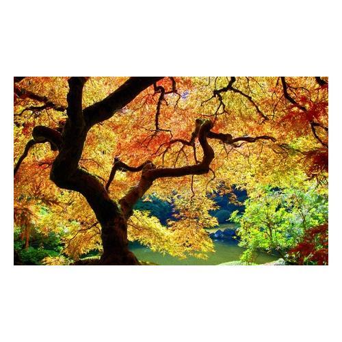 Japanische Ahorne: 4er-Set