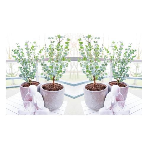 Eukalyptus: 6er-Set