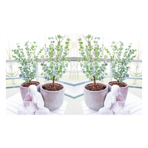 Eukalyptus: 2er-Set