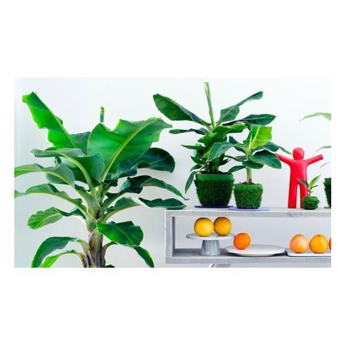 Bananen-Pflanzen: 4er-Set