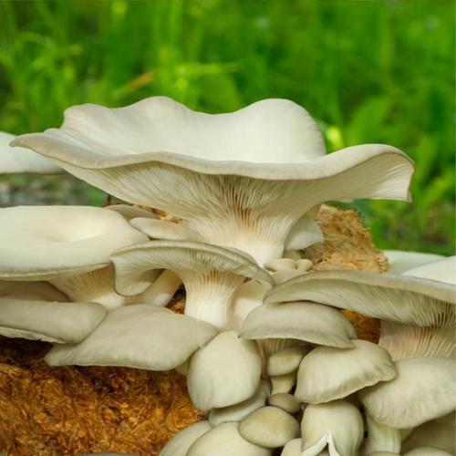 Dübel-Pilzkultur Austernpilze