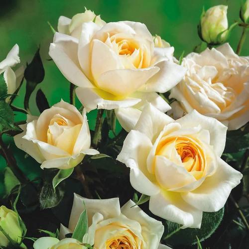 Edelrose Anastasia®, im ca. 23 cm-Topf