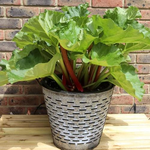 Rhabarberpflanze Sanvitos Summer, im ca. 19 cm-Topf