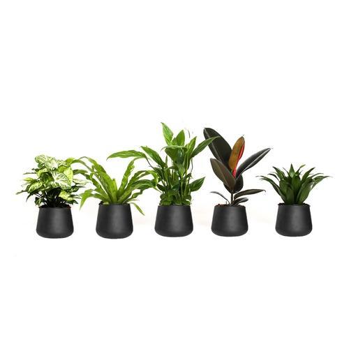 OH2 5er-Set luftreinigende Zimmerpflanzen