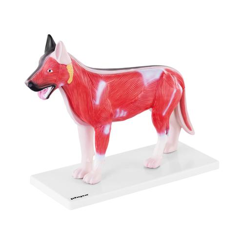 physa Hunde Modell - innere Organe PHY-AM-2