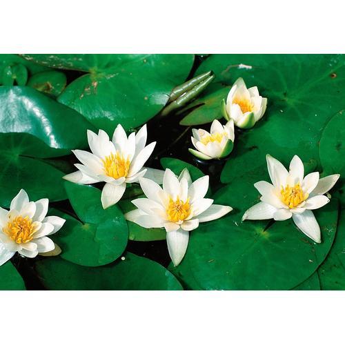BCM Wasserpflanze Seerose Pöstlingsberg weiß Wasserpflanzen Pflanzen Garten Balkon