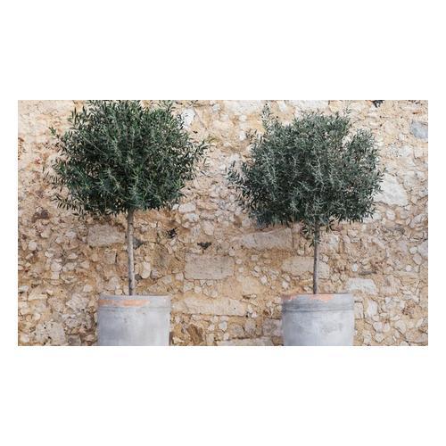 Olivenbaum: 1 / ohne Düngemittel