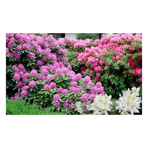 Rhododendron-Pflanzen: 6er-Set