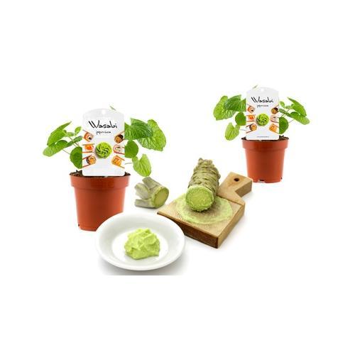 Wasabi-Pflanzen: 2er-Set