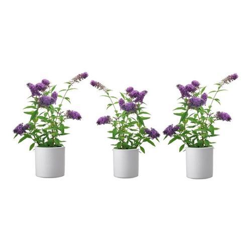Schmetterlingspflanze: 3