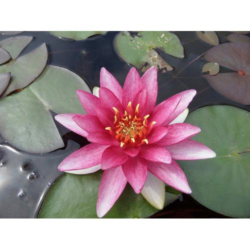 BCM Wasserpflanze Seerose Attraction rot Wasserpflanzen Pflanzen Garten Balkon