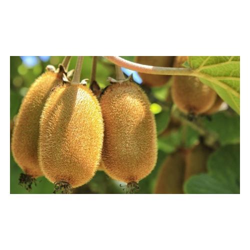 Kiwi-Pflanzen: 3