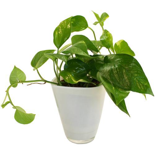 Dominik Zimmerpflanze Efeutute, Höhe: 30 cm, 1 Pflanze im Dekotopf grün Zimmerpflanzen Pflanzen Garten Balkon