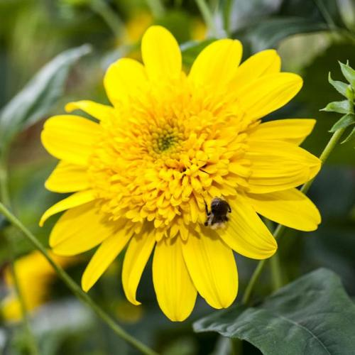 Sonnenblume Double Whammy, im ca. 13 cm-Topf