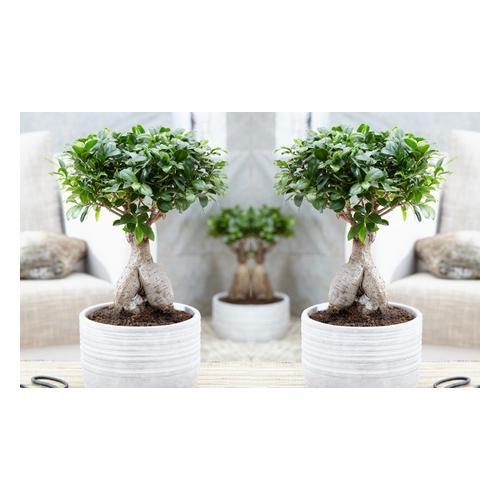 Bonsai Ficus Ginseng: mit dekorativem Topf/ 2