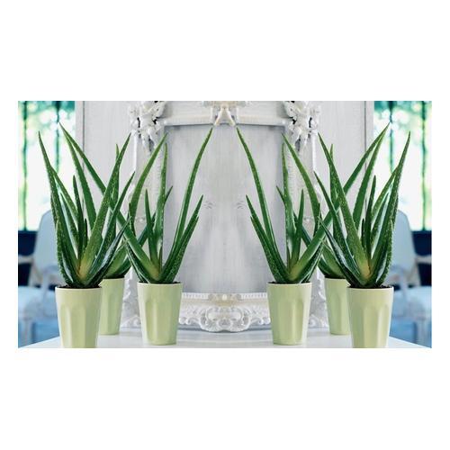 Aloe Vera: 2 Pflanzen
