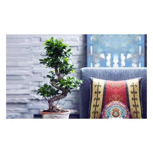 S-förmiger Bonsai-Baum Ficus Ginseng