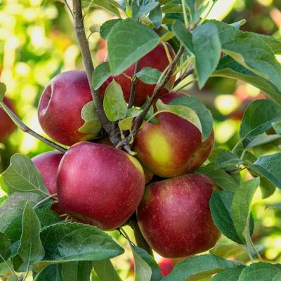 Apple Pixie Crunch Reachables Fruit Tree