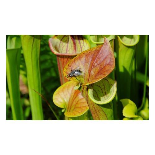 Papageien-Schlauchpflanze: 1 Pflanze