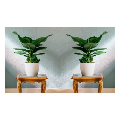Bananenpflanzen: 1