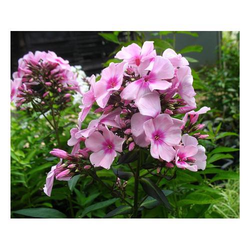 Hoher Staudenphlox, rosa blühend, 2 Pflanzen im 1 Liter Topf (2 Pflanzen)