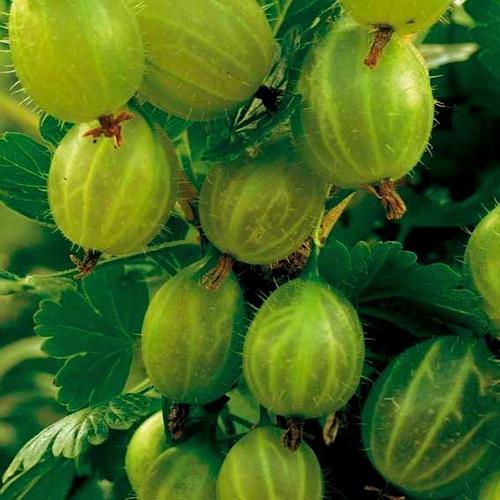 Stachelbeere Invicta®, Hochstamm, im ca. 20 cm-Topf