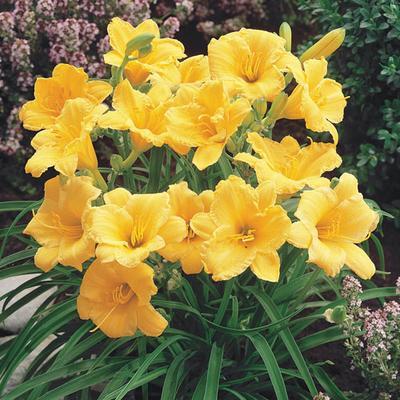 Yellow Stella De Oro Dwarf Daylily Bulbs