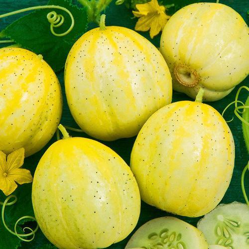 Gurkensamen Lemon