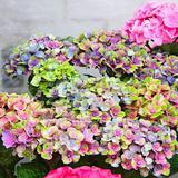 Garten-Hortensie Magical® Coral ...
