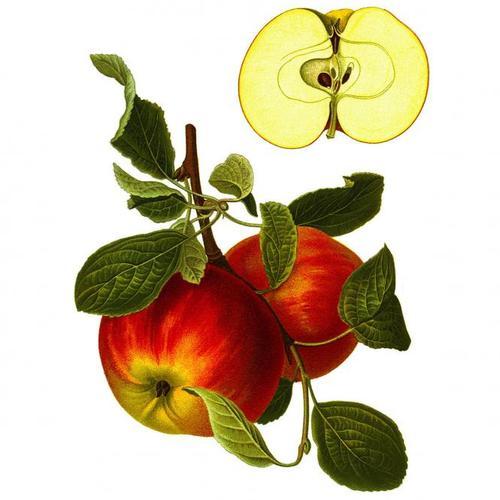 Apfel Elstar, im ca. 23 cm-Topf