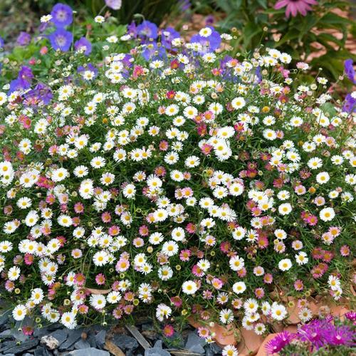 Spanisches Gänseblümchen, im ca. 9 cm-Topf