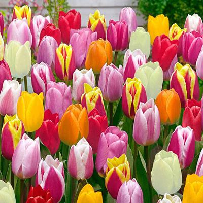 Improved Perennial Tulip Mixture - 120 per package