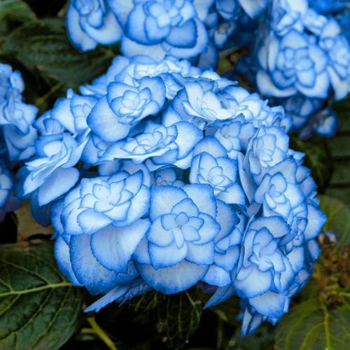 Garten-Hortensie Miss Saori, blau, im ca. 15 cm-Topf