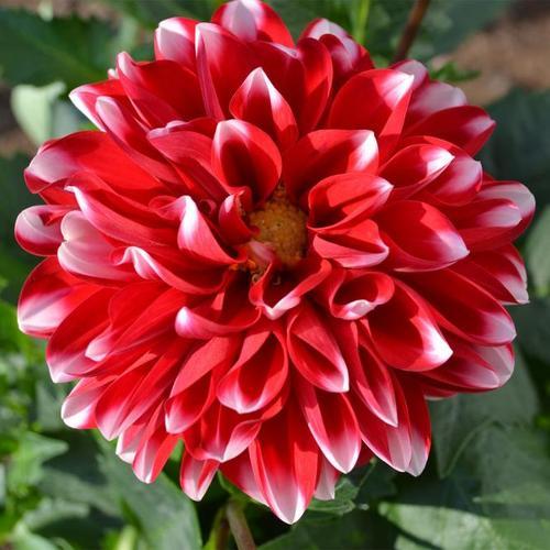 Rot-weiße Dahlie, im ca. 19 cm-Topf