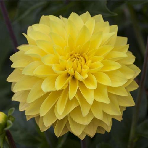 Gelbe Dahlie, 19 cm-Topf