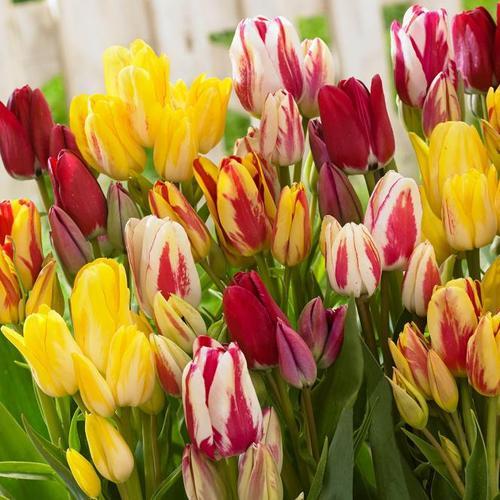 Tulpen-Mischung Bunte Club-Tulpen