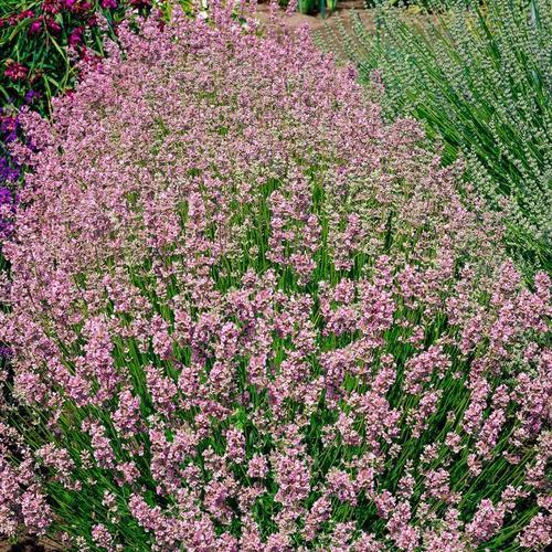 Rosa Lavendel, im ca. 9 cm-Topf