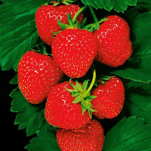Erdbeere Senga® Sengana®, im ca. 9 cm-Topf