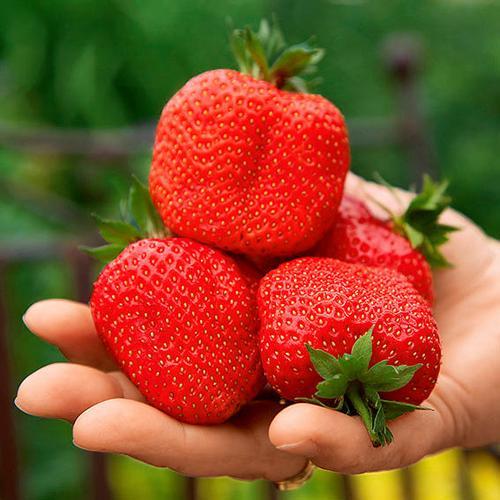 Erdbeere Sweet Mary®, im ca. 10 cm-Topf