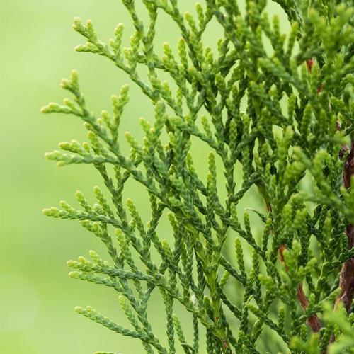 Premium Lebensbaum Smaragd, Höhe ca. 140-160 cm