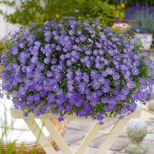 Blaues hängendes Gänseblümchen, im ca. 11 cm-Topf